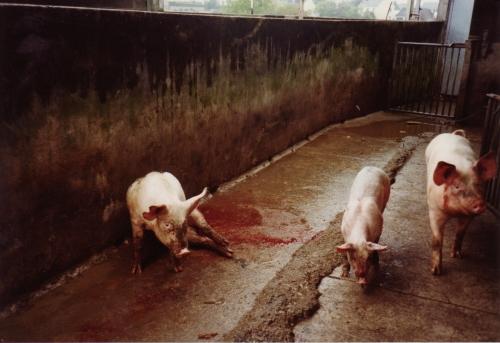 abattoirs, condition animale, transports animaux, végétarisme, protection animale, droits des animaux, Jean-Luc Daub, Ces bêtes qu'on abat, maltraitance, législation animale