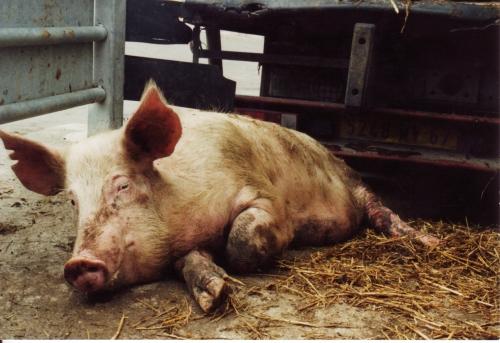 abattoirs, condition animale, transports animaux, végétarisme, protection animale, droits des animaux, Jean-Luc Daub, Ces bêtes qu'on abat, maltraitance, législation animale, viande