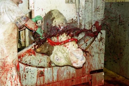 abattoirs, condition animale, transports animaux, végétarisme, protection animale, droits des animaux, Jean-Luc Daub, Ces bêtes qu'on abat, maltraitance, législation animale, viande; animaux, animal; bêtes, fraternité