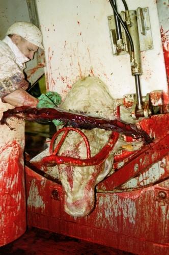 abattoirs, condition animale, transports animaux, végétarisme, protection animale, droits des animaux, Jean-Luc Daub, Ces bêtes qu'on abat, maltraitance, législation animale, viande; animaux, animal; bêtes, fraternité, abattage rituel