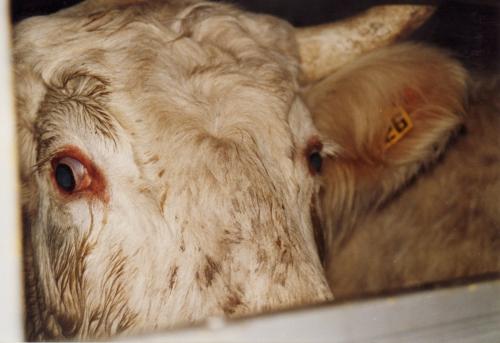 abattoirs, condition animale, transports animaux, végétarisme, protection animale, droits des animaux, Jean-Luc Daub, Ces bêtes qu'on abat, maltraitance, législation animale, viande; animaux, animal; bêtes, fraternité, abattage rituel, halal, casher
