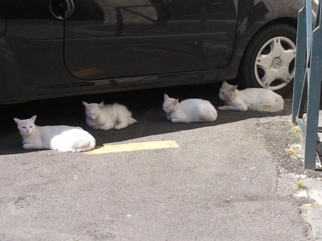 chats blancs, voiture, mavra