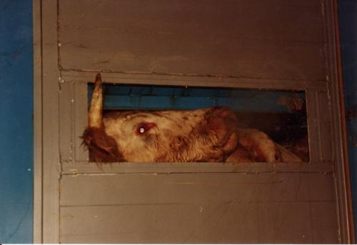 abattoirs, condition animale, transports animaux, végétarisme, protection animale, droits des animaux, Jean-Luc Daub, Ces bêtes qu'on abat, maltraitance, législation animale, viande; animaux, animal; bêtes, fraternité, abattage rituel, halal, hallal, casher