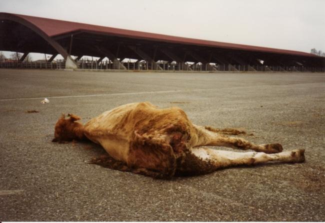 abattoirs,condition animale,transports animaux,végétarisme,protection animale,droits des animaux,jean-luc daub,ces bêtes qu'on abat,maltraitance,législation animale,viande; animaux,animal; bêtes,fraternité,abattage rituel,halal,hallal,casher
