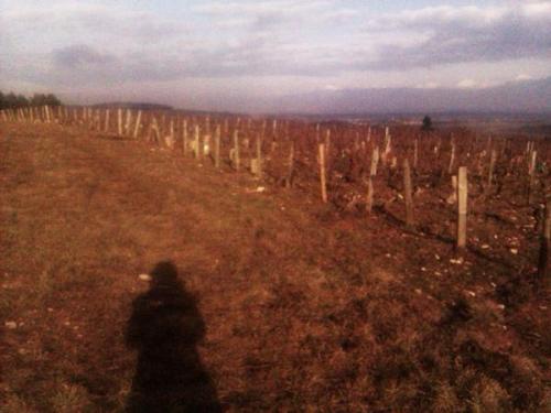 Carvos Loup, vignes, viticulture