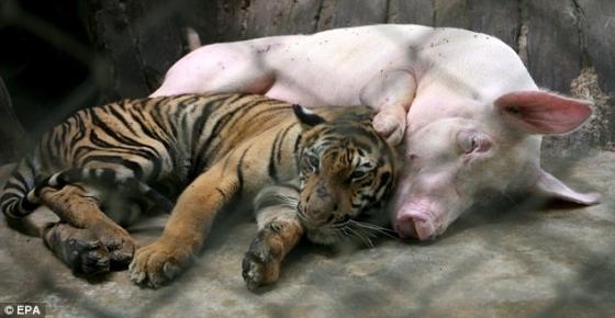tendresse-entre-une-truie-et-un-tigre_9027_w560.jpg