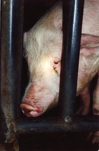 abattoirs, condition animale, transports animaux, végétarisme, protection animale, droits des animaux, Jean-Luc Daub, Ces bêtes qu'on abat, maltraitance